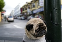 Pugs, Pugs and More Pugs / by Michele Klein
