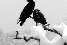 Crow Dark Angels