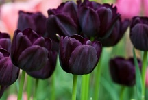 ---tulips---