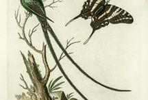 ******ornit. colibris