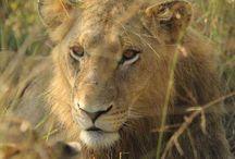 Lions: Fourways Pride