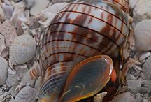 Amazing Sea-Shells