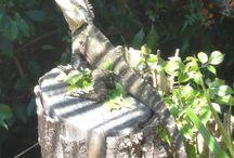 Backyard Animals / Eastern water dragon