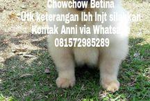 Jual Chowchow Betina Von Javelline Kennel