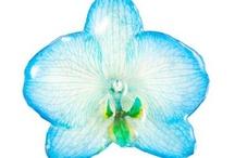 Phalaenopsis Hair Clip