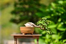 All About Bonsai - Wszystko o Bonsai