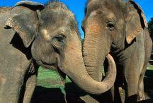 Tapety - zwierzęta - słonie