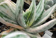 GASTERIA-HAWORTHIA / Gasteria and Haworthia are two South African genera of the Asphodelaceae family. They are in general small to medium, slow-growing, shade-loving succulents. These characteristics make them very suitable plants for indoor culture.