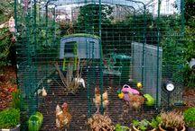 { CHicKen LicKeN } / Chickens