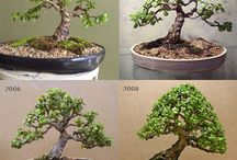 suculente bonsai