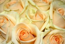 Rose Cultivars