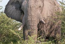 African elephant, Afrikaanse olifant