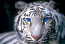 witte tijgers