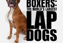 Boxers / Boxer dogs