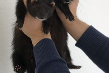 ferrets and diys