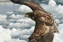 Ένας αετός Λεβέντης