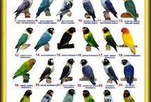livebird