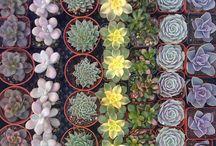 succulents / by Shaya Sherwood