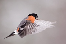 Rus Birds