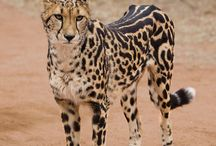 beautiful - known as the king cheetah