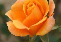 Rosa de color melocotón