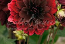 Summer Flowering Bulbs - Dahlias / Dahlias, together with gladioli and begonias, are the most famous and popular of the summer flowering bulbs. We have provided a breakdown of different dahlia varieties, each with their own characteristics; decorative dahlias, cactus dahlias, pompon dahlias and dinner plate (XXL) dahlias. Each group consists of several beautiful varieties with different colours.