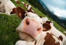 Drink your milk! / A fun series of facts about milk and the cows that make it. In partnership with Horizon Organic.