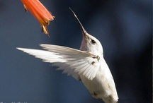 Love Me some Hummingbirds!!! / by Jackie Anderson