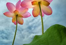 Flowers-Lilies and Lotus Blossoms / by Susan Barr