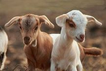 Goats/Cabras