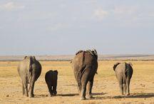 Elephants / animaux