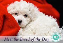 """Bichon Frise / Its name (pronounced BEE-shon Free-ZAY) is French for """"fluffy white dog,"""" which is a very accurate way to describe these 10- to 20-pound four-legged cotton balls. Bred to be hypoallergenic, their white, curly coats rarely shed. This breed is easily trained and carries a charismatic, cheerful, and curious disposition. And their history of being pampered by French royalty makes them tolerant of being adorned in bows and bling, should you feel the urge."""
