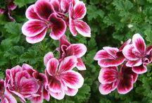 Комнатные цветы-герань