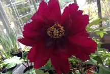 Herbaceous / Beautiful Herbaceous plants from our nursery