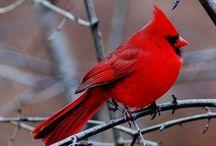 Cardinals--My Favorite Bird / by Allison Evans