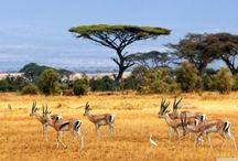 ANIMAL • Antelope