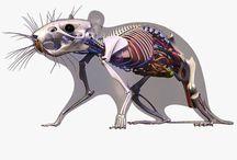Rodent anatomy