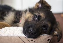 German Shepherds and other gorgeous dogs