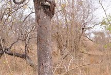 Xivambalana (male leopard)
