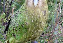 Kakapo / The Kakapo is the world's only flightless parrot, the heaviest parrot, nocturnal, herbivorous, visibly sexually dimorphic in body size, has a low basal metabolic rate and no male parental care, and is the only parrot to have a polygynous lek breeding system. It is also possibly one of the world's longest-living birds.