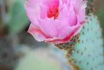 Kaktusz virága