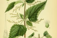 Illustrations of Herbs