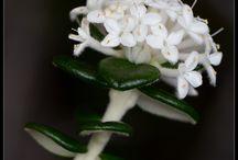 Tasmanian native plants