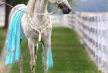beauty arabian horse