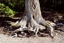 Trees and Roots / For the love of all things woody and tall, with roots spreading far and wide.