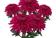 CHRYZANTÉMY / Chrysanthemum / Zbožnuji vůni podzimu chryzantém a růží.