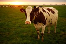 Animals in Farming / Humane animal farming is better for everyone. Animals live longer, healthier and more active lives. High welfare farming can be less damaging to the environment. And farmers can earn more too. So we work with governments, farmers and consumers all over the world – campaigning for farm animals and partnering with businesses to show that farming can be sustainable and profitable. http://bit.ly/1niG1Gq / by World Animal Protection Australia