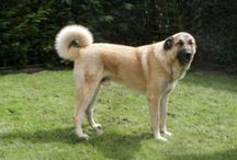 Anatolian Shepherd Dog / Anatolian Shepherd Dog breed pictures
