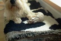 Ziggy / Dandie dinmont terrier
