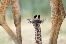I ❤ giraffes!